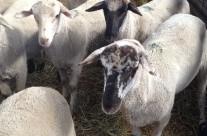 2013-05-28-Lamb