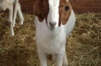 2013-05-28-Goats2